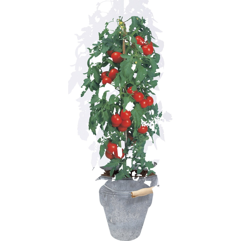 pot aromatique tomate cerise geolia leroy merlin. Black Bedroom Furniture Sets. Home Design Ideas